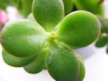 Молодой succulent зеленого цвета arborescens crassula стоковые изображения rf