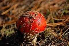 Молодой toadstool пластинчатого гриба мухы (muscaria мухомора) Стоковые Изображения