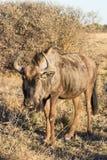 Молодой Wildebeest Стоковое Изображение