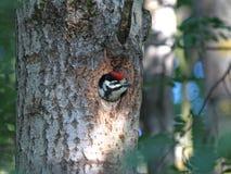 Молодой woodpecker вставил его голову из полости Стоковые Фото