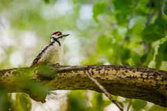 Молодой woodpecker Стоковое фото RF