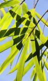 Молодые бамбуковые зеленые ветви Стоковые Изображения RF