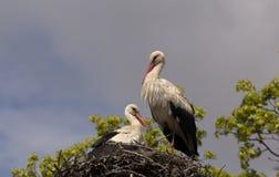 Молодые белые аисты в гнезде Стоковая Фотография RF