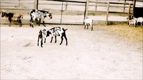 Молодые боевые искусства практики коз в зоопарке сток-видео