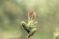 Молодые бутоны весны Стоковые Изображения