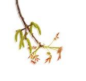 Молодые бутоны дерева грецкого ореха Стоковое фото RF