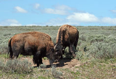 Молодые быки бизона horning один другого в долине Hayden в национальном парке Йеллоустона Стоковые Изображения RF