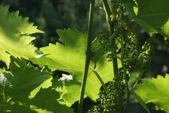 Молодые ветви и листья виноградной лозы Стоковое фото RF