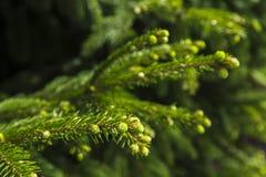 Молодые ветви спруса Стоковое Фото