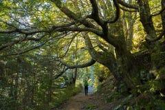 Молодые взрослые женщины идя в лес бука Стоковая Фотография RF