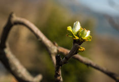 Молодые всходы весны зеленого цвета выходят на ветвь Стоковые Изображения RF