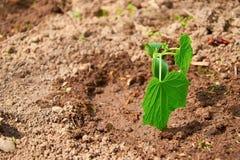 Молодые всходы огурца, который выросли в саде Стоковое Фото