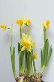 Молодые всходы daffodils Стоковая Фотография