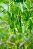 Молодые груши на ветви дерева Стоковая Фотография RF