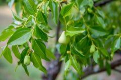 Молодые груши на ветви дерева Стоковые Изображения