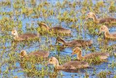 Молодые гусята гусыни Greylag в пруде Стоковое Фото