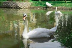 Молодые лебеди в озере Стоковое Изображение