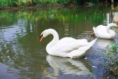 Молодые лебеди в озере Стоковые Фото