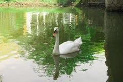 Молодые лебеди в озере Стоковые Фотографии RF