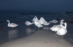 Молодые лебеди на пляже ночи Стоковое фото RF