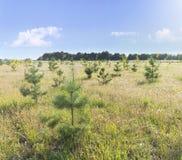 Молодые деревца сосны в поле с cloudscape в предпосылке стоковые фото
