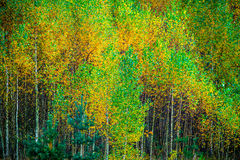 Молодые деревья березы в падении Стоковая Фотография