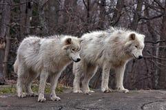 Молодые ледовитые волки Стоковые Изображения RF