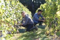 Молодые жатки в работе виноградников Стоковое Изображение RF
