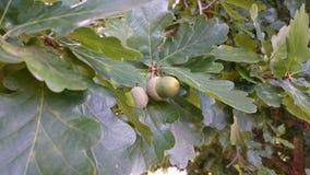 Молодые жолуди и листья дуба Стоковая Фотография