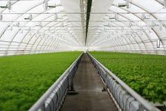 Молодые заводы растя в очень большом заводе Стоковые Фотографии RF