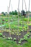 Молодые заводы стручковой фасоли и другие овощи на заплате Стоковое Изображение RF