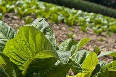 Молодые заводы табака Стоковая Фотография RF