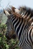Молодые зебры быть шаловливый в африканском кусте Стоковое фото RF