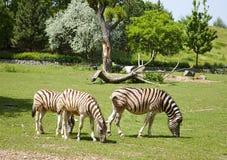 Молодые зебры Стоковая Фотография RF