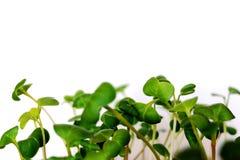 Молодые малые всходы редиски сада Стоковая Фотография
