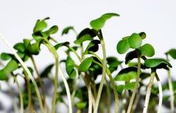 Молодые малые всходы редиски сада Стоковое фото RF