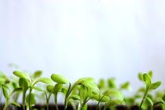 Молодые малые всходы салата Стоковое Изображение RF