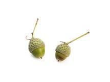 Молодые зеленые жолуди Стоковые Фотографии RF