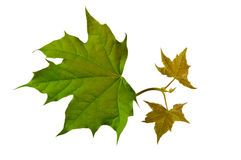 Молодые зеленые листья клена весной Стоковая Фотография