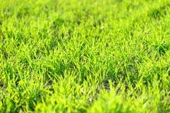 Молодые зеленые озимые культуры пшеницы field предпосылка солнечная и живая Стоковая Фотография RF