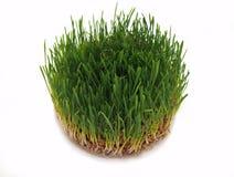Молодые зеленые ростки овса Стоковая Фотография RF