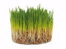 Молодые зеленые ростки овса Стоковая Фотография