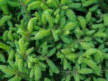 Молодые зеленые свежие елевые ветви Стоковое Фото