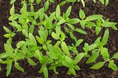Сеянцы томата Стоковые Фотографии RF