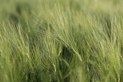 Молодые зеленые уши пшеницы, красивой предпосылки, мягкого фокуса Стоковое Изображение
