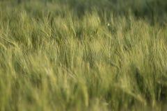 Молодые зеленые уши пшеницы, красивой предпосылки, мягкого фокуса Стоковые Фотографии RF