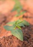 Молодые зеленые фасоли Стоковая Фотография