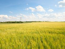 Молодые зеленые corns ячменя растя в поле, свете на горизонте Солнце над горизонтом Стоковая Фотография RF