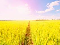 Молодые зеленые corns ячменя растя в поле, свете на горизонте Солнце над горизонтом Стоковые Фотографии RF