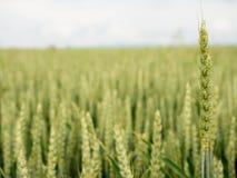 Молодые зеленые corns ячменя растя в поле, Стоковые Фото